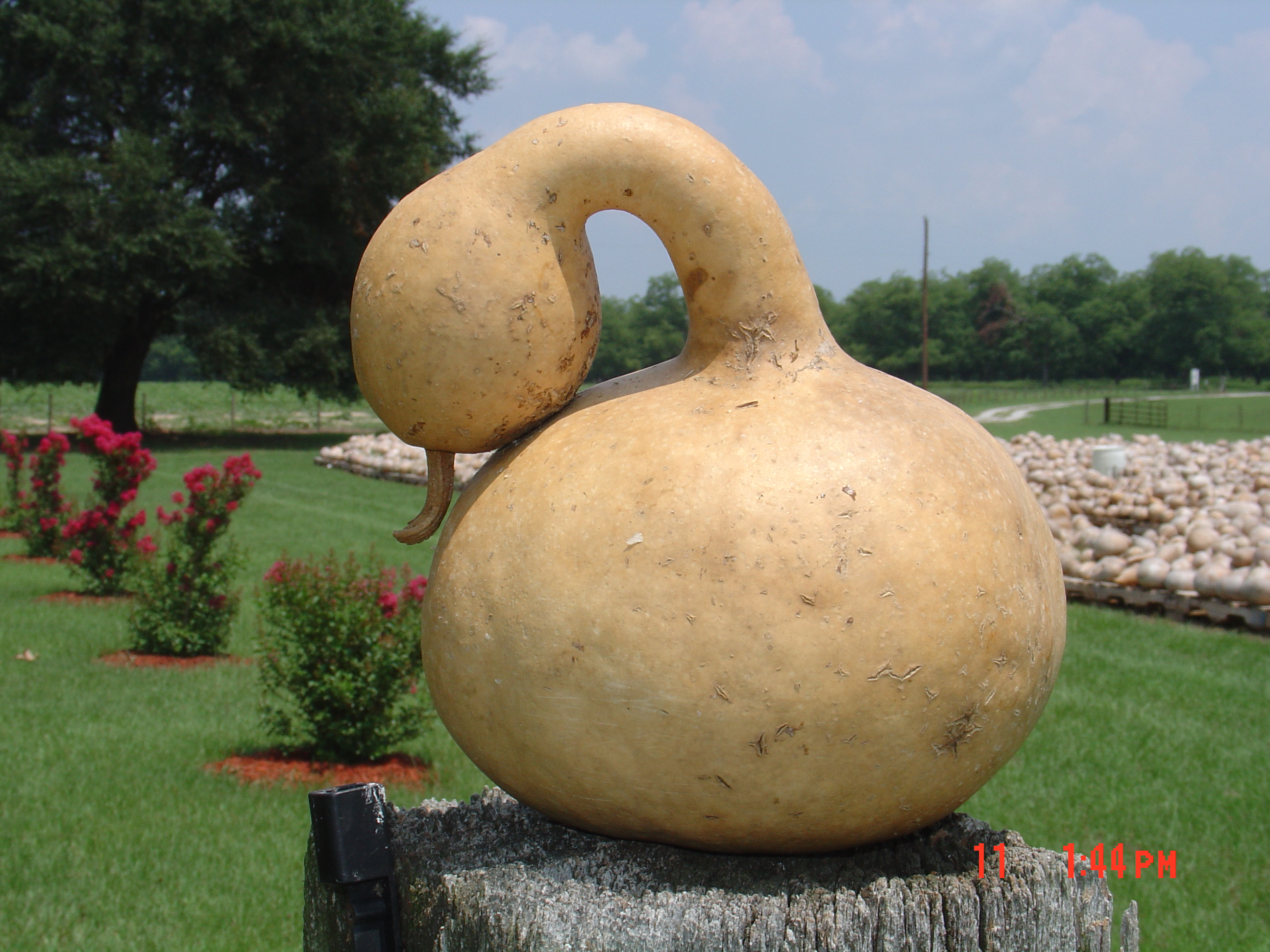 Goose gourds swan gourds two 2 natural gourds ready to |Dried Gourds Goose